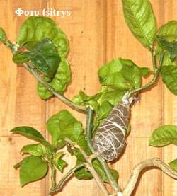 2)Размножение цитрусовых