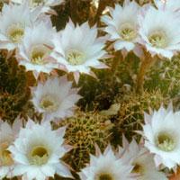 Эхинопсис трубкоцветный