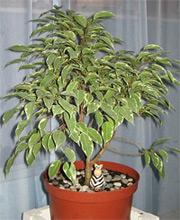 Всё о комнатных растениях! Ficus-B