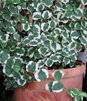 Всё о комнатных растениях! Ficus-K