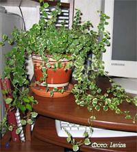 http://iplants.ru/images/ficus-pumila6.jpg