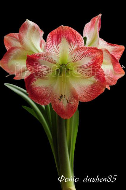 Пышный махровый цветок 10 букв