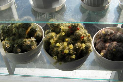 http://iplants.ru/images/kaktus-osv.jpg