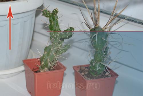http://iplants.ru/images/kaktus-osv1.jpg