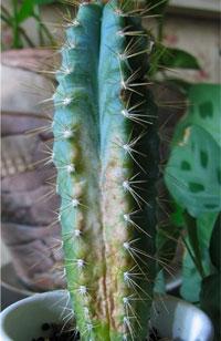болезни кактусов