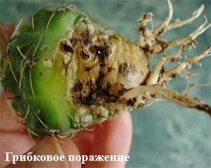грибок на кактусе