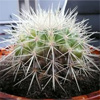 кактус грузон