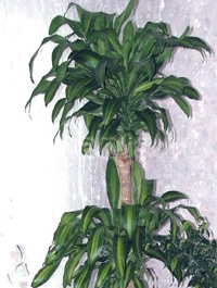 Пальмовые уход в домашних условиях 77