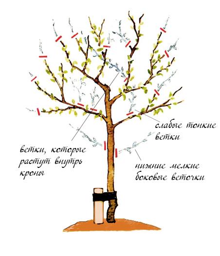 инструкция как сформировать штамбовое дерево