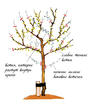 Как сформировать крону дерева в домашних условиях 655