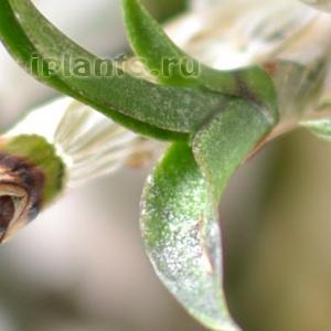 орхидея клещ