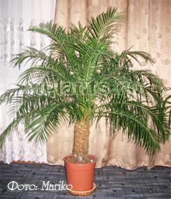 Пальмовые уход в домашних условиях 21