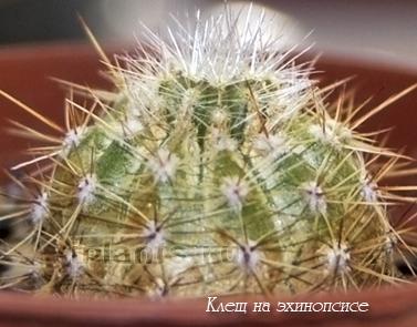клещ на кактусе