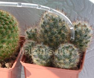 http://iplants.ru/images/poliv_kaktus.jpg