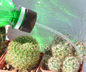 Кота поливаю кактусы