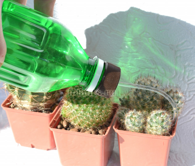 полива кактусов - сверху