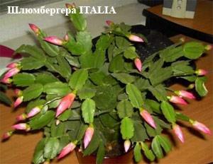 растение декабрист фото