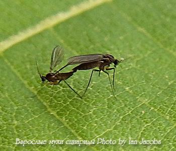 Грибные комарики (сциариды) в цветах, как избавиться от них навсегда