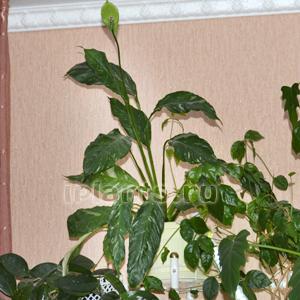 Спатифиллум родина растения