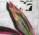 Коричневые края и кончики листьев