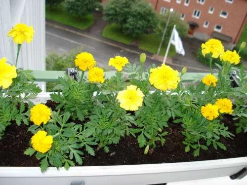 Tagetes, бархатцы - фотографии растений посетителей сайта.