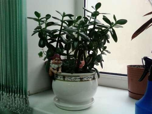 Денежное дерево: как ухаживать и растить?