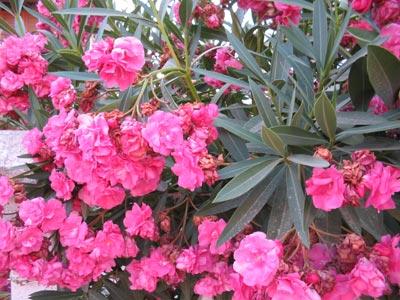 Фото цветы турция 123